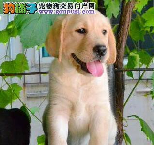 精品优秀上海拉布拉多犬转让 保品质可赠送宠物用品