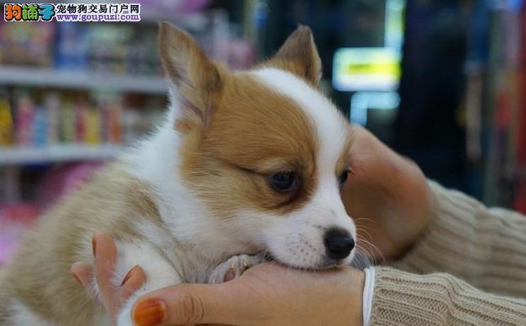 江苏正规犬舍直销纯种柯基幼犬 保健康!!!