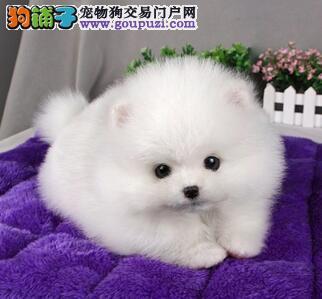 北京博美犬促销价格出售 保纯保健康有问题可退换货