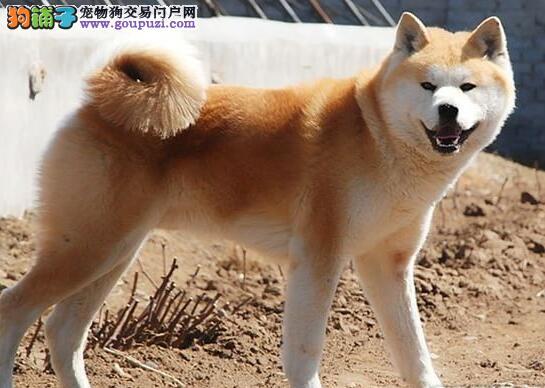 锦州自家养殖纯种秋田犬低价出售看父母照片喜欢加微信