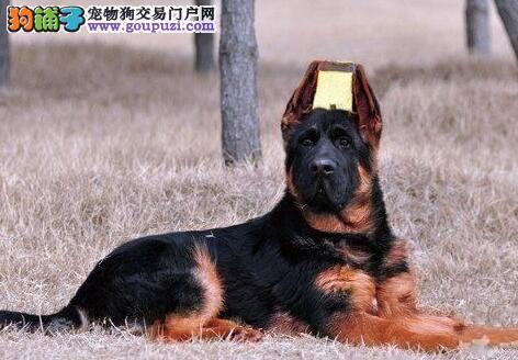实体犬舍直销纯种德国牧羊犬幼犬现火热出售中