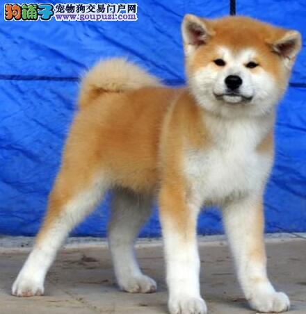 吉林犬舍直销靓丽活泼可爱的日系秋田犬 忠诚老实听话