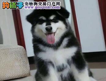 犬舍直销品种纯正健康阿拉斯加犬欢迎上门选购价格公道