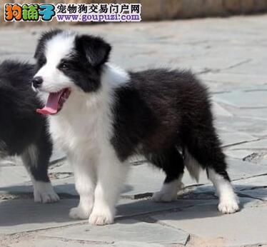 多种颜色的武汉边境牧羊犬找爸爸妈妈签署各项质保合同
