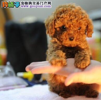 鹤岗最大犬舍出售多种颜色贵宾犬实物拍摄直接视频