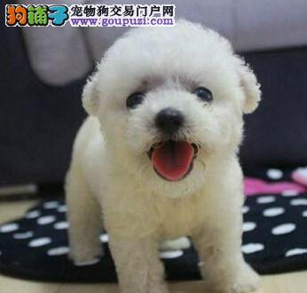 最高品质最低价格 精品泰迪通州出售 只卖良心狗无染色