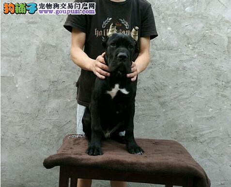 精品卡斯罗幼犬 重头版大骨量质保终身非诚勿扰