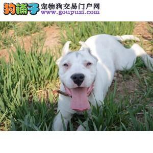 权威机构认证犬舍 专业培育杜高犬幼犬国际血统证书