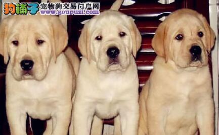 自家繁殖的多只海口拉布拉多犬 喜欢的朋友上门选购