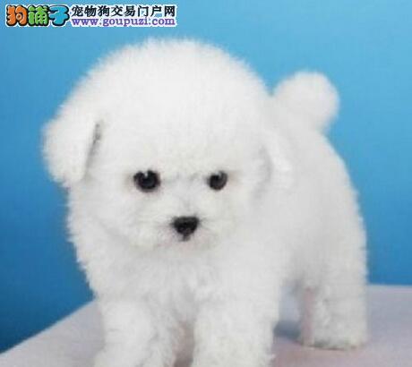 棉花糖品相甜美脸型的徐州比熊犬终身免费售后
