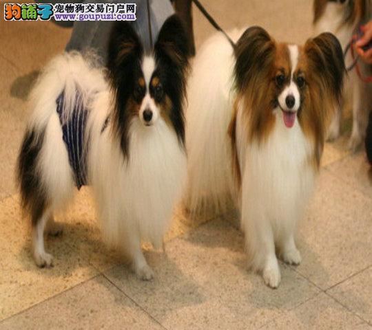 狗场出售纯种蝴蝶幼犬黑白色和黄白色均有