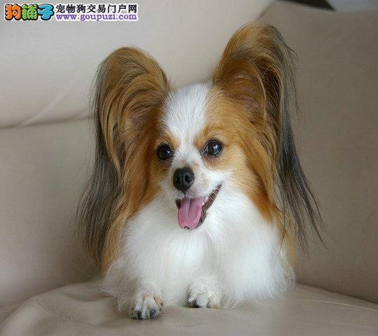 多种颜色的赛级蝴蝶犬幼犬寻找主人喜欢来电咨询