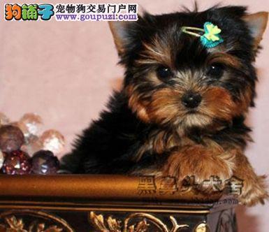 深圳哪里有卖约克夏 价格 深圳哪里有卖袖珍犬 价格