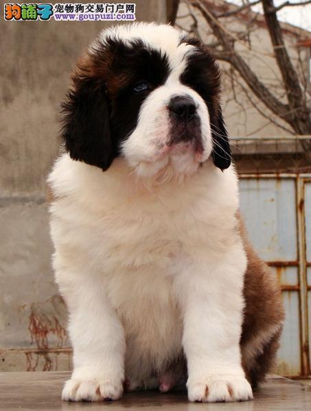 出售高大威猛纯种圣伯纳犬