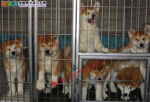 成都哪儿有秋田幼犬出售 终身包纯种 质量三包