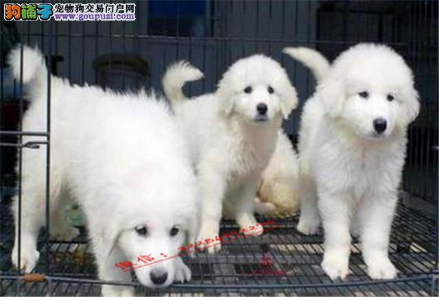 纯种大骨量 大白熊幼犬 王者风范 品相纯正高端品质