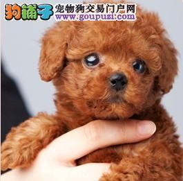 出售极品茶杯犬幼犬完美品相赠送全套宠物用品