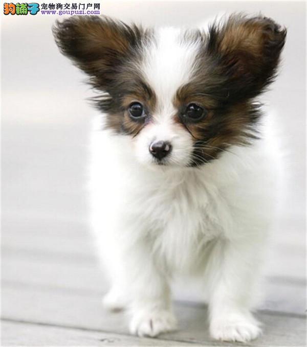 出售纯种蝴蝶犬,打完疫苗证书齐全,专业信誉服务