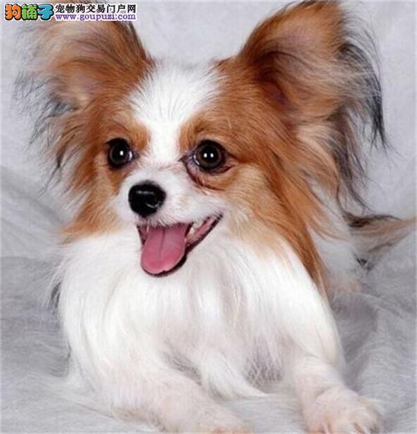纯种蝴蝶犬幼犬包健康纯种犬瘟细小签协议