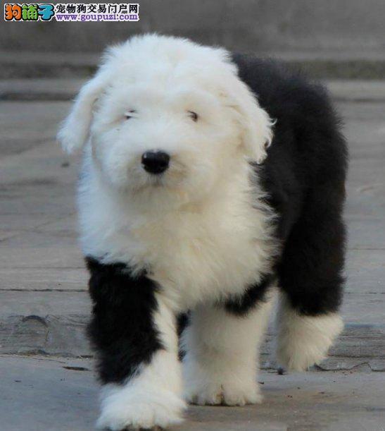 纯种古代牧羊犬、保证纯种健康 终身质保、饲养指导