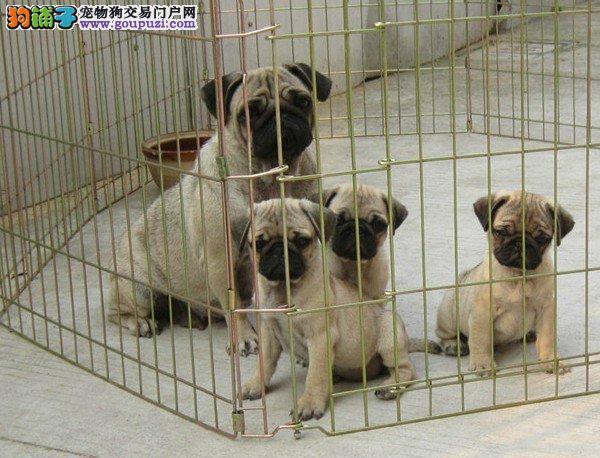 纯种巴哥、巴哥犬保证纯种健康 终身质保、饲养指导