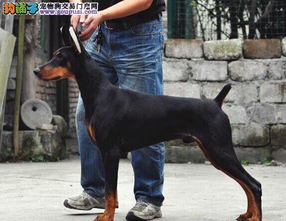纯种杜宾、杜宾犬保证纯种健康 终身质保、饲养指导