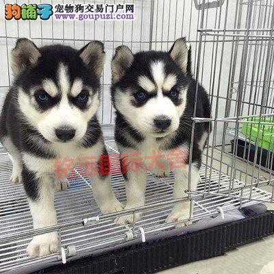 纯种哈士奇幼犬、保证纯种健康 、终身质保、饲养指导