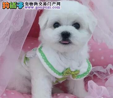 重庆售比熊宝贝白色粉扑棉花糖幼犬公母全有可挑选