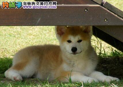 赛级秋田犬宝宝、CKU认证品质、三年联保协议
