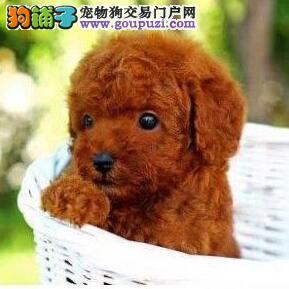 直销赛级贵宾犬、专业繁殖血统纯正、可送货上门