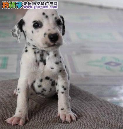 精品纯种斑点狗出售质量三包提供护养指导
