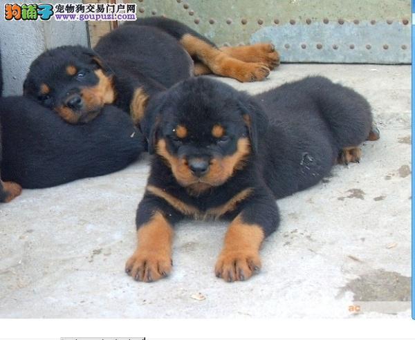 苏州哪里有卖健康罗威纳犬苏州哪里有出售罗威纳狗狗