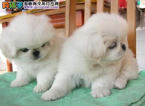 直销京巴幼犬 一宠一证证件齐全 三包终生协议