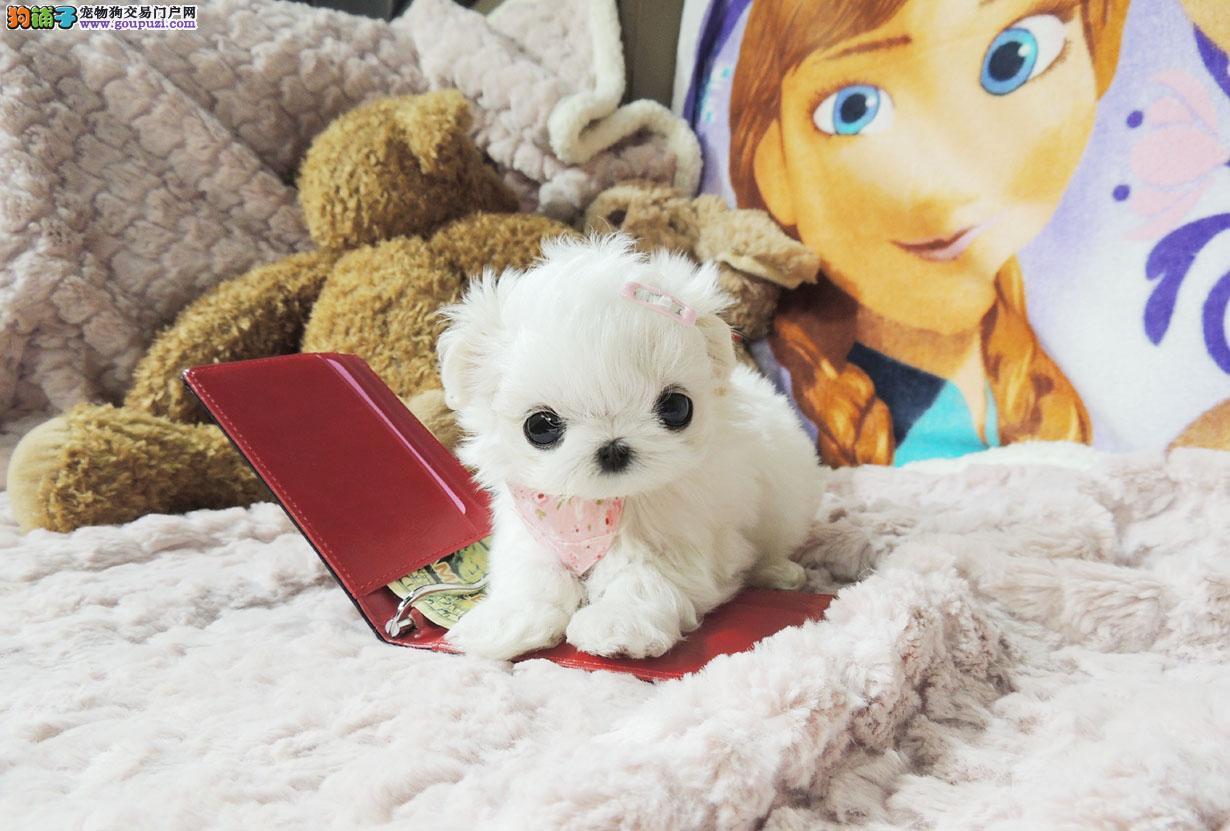 CKU注册犬舍出售马尔济斯幼犬,数量有限