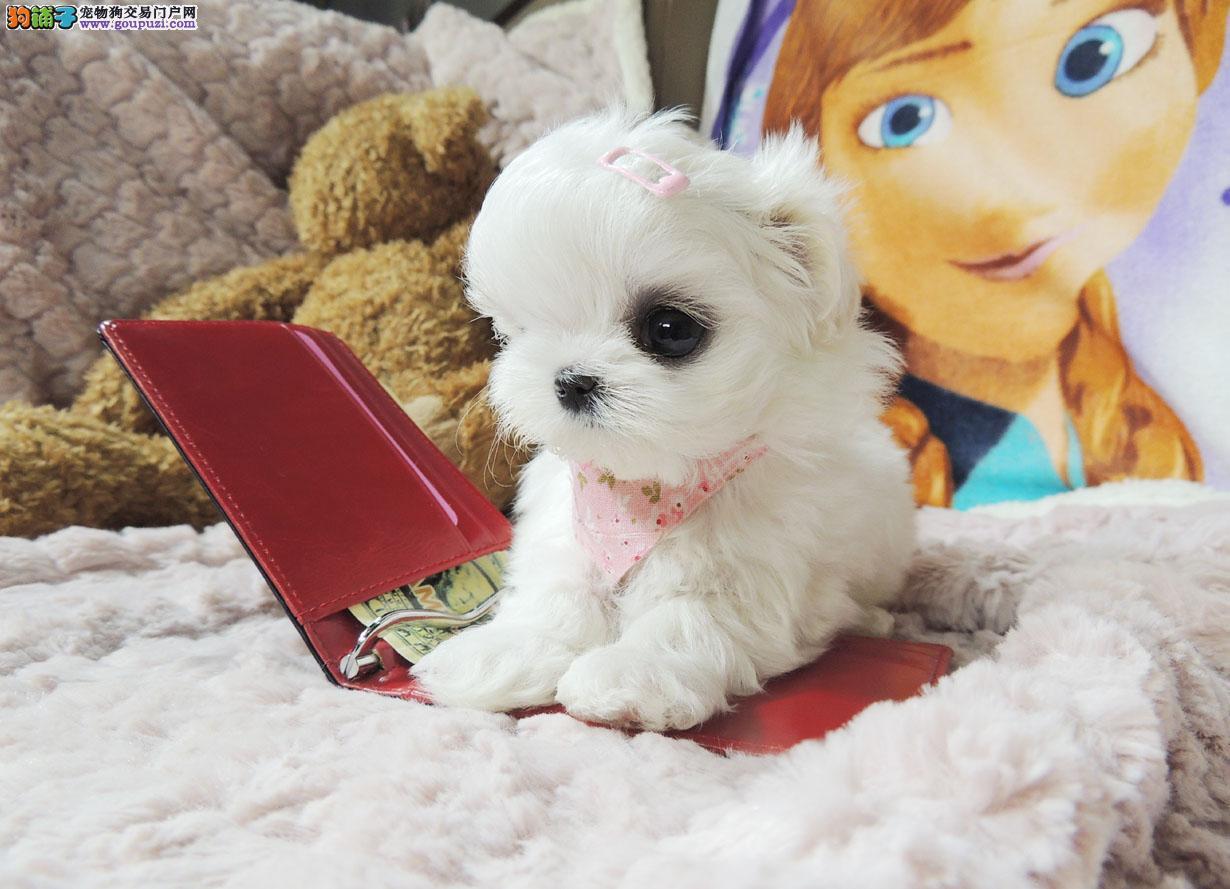 广州哪里有马尔济斯犬舍直销马尔济斯犬幼犬