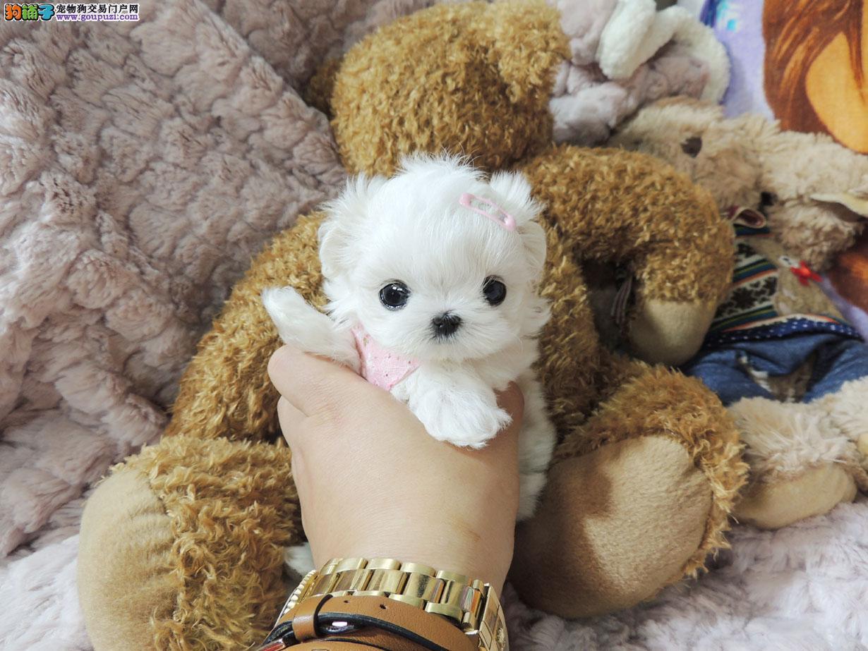 可爱小萌物,马尔济斯幼犬,萌到疯狂、、、、