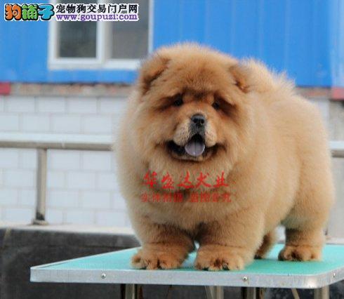 极品松狮犬在这里、保障纯种和健康、十佳犬舍CKU认证
