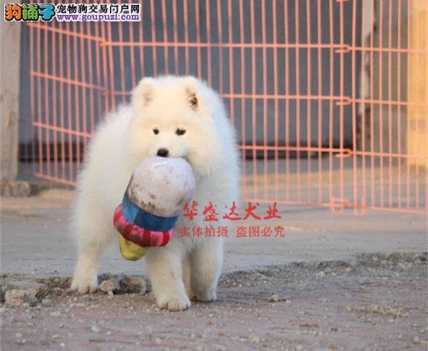 极品萨摩耶在这里、保障纯种和健康、十佳犬舍CKU认证