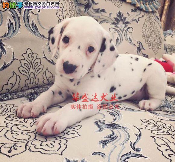 极品斑点犬在这里、保障纯种和健康、十佳犬舍CKU认证