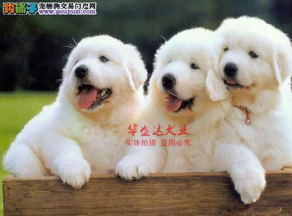 极品大白熊在这里、保障纯种和健康、十佳犬舍CKU认证