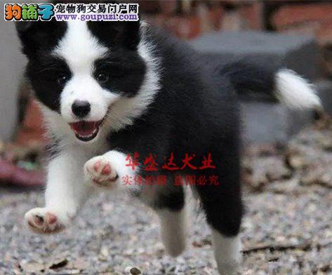 信誉第一 品质第一 精品边牧幼犬 健康质保 十佳犬舍
