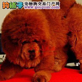 信誉第一 品质第一 大头藏獒幼犬 健康质保 十佳犬舍