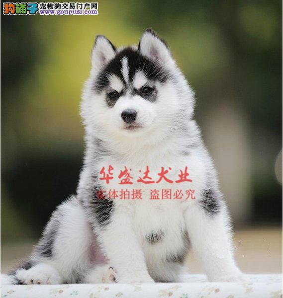 信誉第一 品质第一 精品哈士奇幼犬 健康质保 十佳犬舍