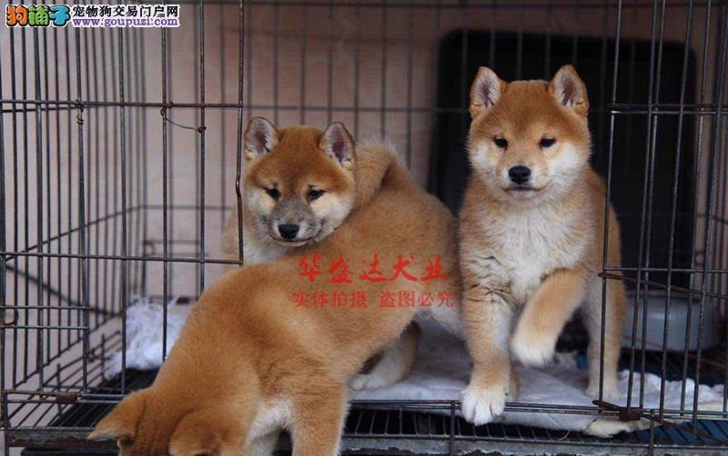 信誉第一 品质第一 精品柴犬幼犬 健康质保 十佳犬舍