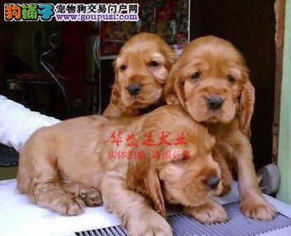 信誉第一 品质第一 精品可卡幼犬 健康质保 十佳犬舍