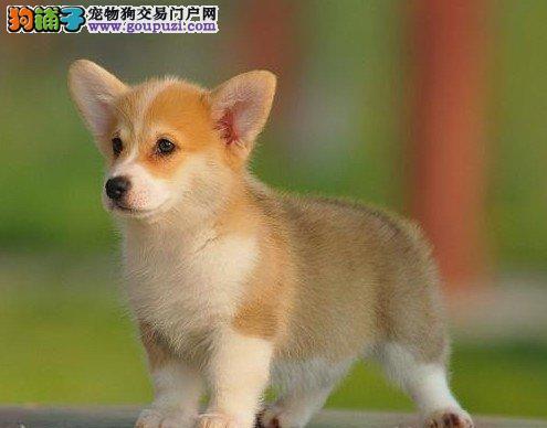 信誉第一 品质第一 精品柯基幼犬 健康质保 十佳犬舍