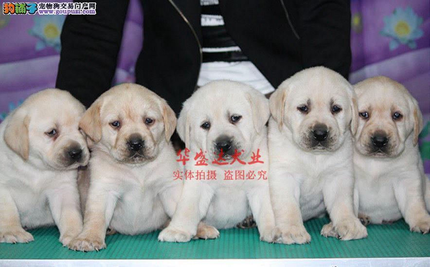 信誉第一 品质第一 拉布拉多幼犬 健康质保 十佳犬舍