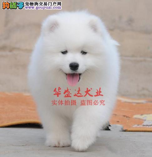 信誉第一 品质第一 精品萨摩耶幼犬 健康质保 十佳犬舍