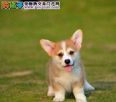 柯基幼犬基地直销纯种健康质保可以签订活体销售协议