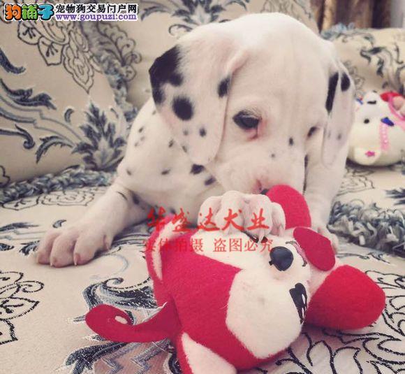 信誉第一 品质第一 极品斑点幼犬 健康质保 十佳犬舍